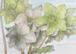 菅野 昌子/KANNOmasako:窓辺の鉢植え-クリスマスローズ 72.8×103 水彩・鉛筆・クレヨン