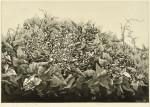 今村ともこ/IMAMURAtomoko:草の花(Ⅲ)55×65 銅版