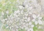 菅野 昌子 /KANNO masako:若草色のクレマチス 103×145.6 透明水彩・鉛筆