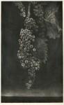 田坂 絹子/TASAKA kinuko:連なるぶどう 59×35.5 銅版・メゾチント